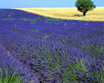 950843  F: Lavender field in Provence